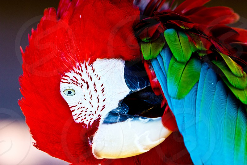 Pruning Macaw photo