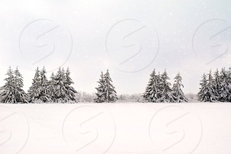 Evergreen trees covered in snow int he winter. photo