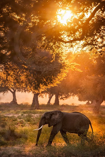 baby elephant walking on field surrounded by green trees photo