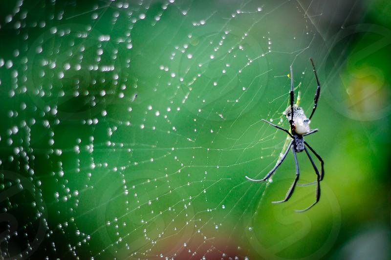 Dew orb web photo