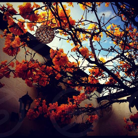 orange blossoms on tree photo