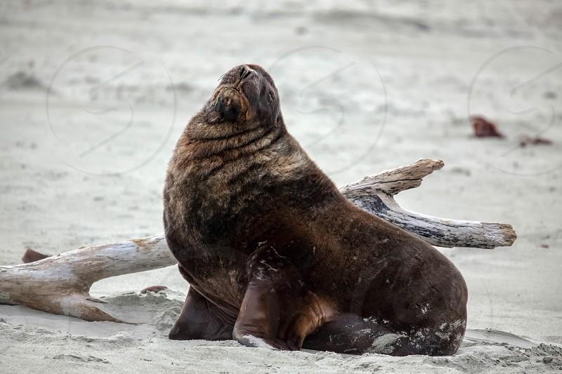 New Zealand Sea Lion (Phocarctos hookeri) photo