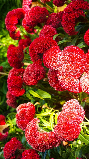 #Flowers #Bloom #Red #Nature photo