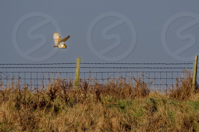 Barn Owl hunting at Elmley Marshes on a winter's afternoon photo