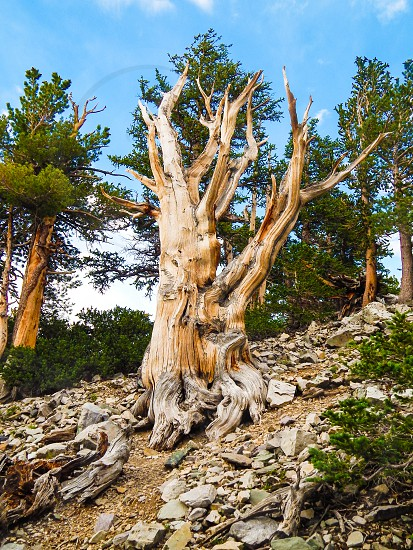 3000 Year Old Bristlecone Pine Tree in Great Basin National Park Nevada photo