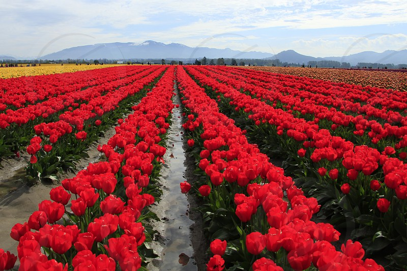 red tulips field photo