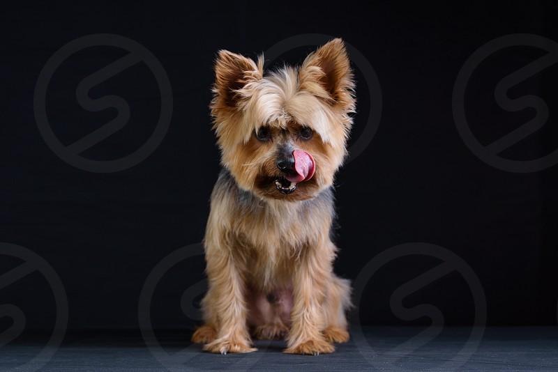 Yorkshire Terrier Studio Photo Session Dark background low key photos photo