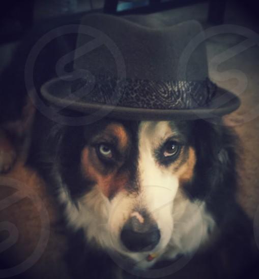 Australian Shepherd in Goorin Felt Hat photo