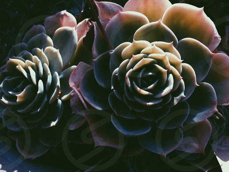 green rose cactus photo