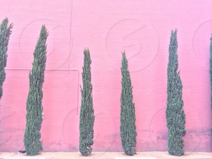 green tall pine trees photo