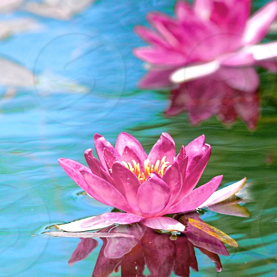 A  pink lotus water lilies float in the blue water of a fountain with a blurred flower in the background photo