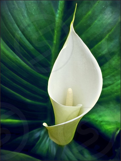 calla lilly and leaf photo