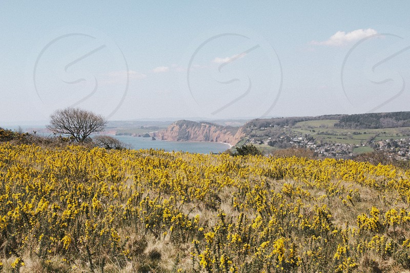 Gorse flowers create a yellow carpet on Salcombe Hill above Sidmouth Devon UK. photo
