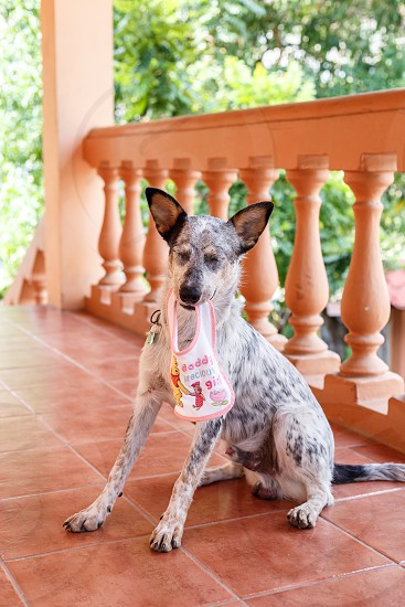 Australian Cattle Dog puppy shows his displeasure at being made to sit for photos with a baby's bib in his mouth.  photo