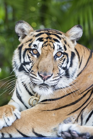 a Tiger at a Tourist Spot at the nong nooch tropical garden near the city of Pattaya in the Provinz Chonburi in Thailand.  Thailand Pattaya November 2018 photo