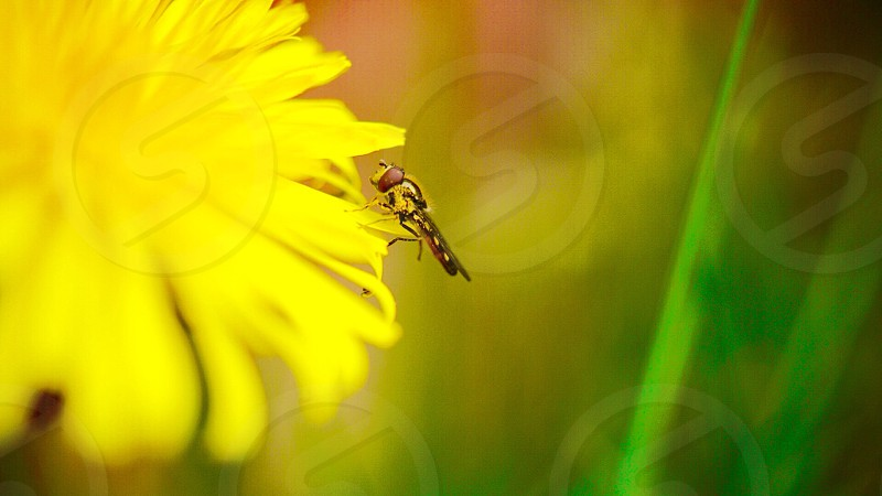 yellow and black insect perched on yellow flower in full bloom photo