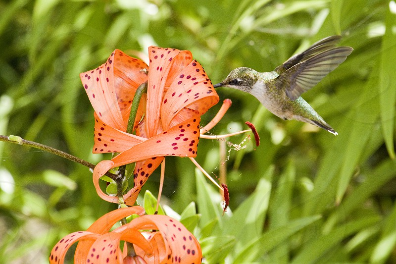 hummingbird harvesting nectar from tiger lily in bloom during daytime photo