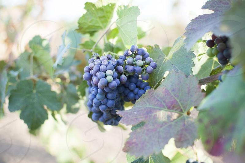 grapes purple grapes grape leaves vineyard wine red wine  photo