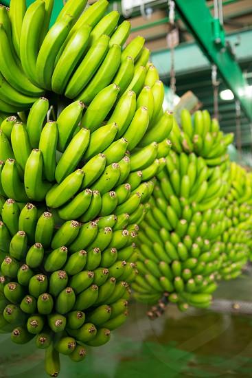 Canarian Banana Platano in La Palma canary Islands photo
