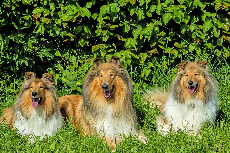 Collie dogs photo