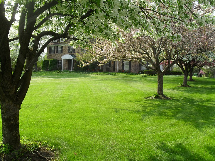 Crab apple trees in the frontyard photo