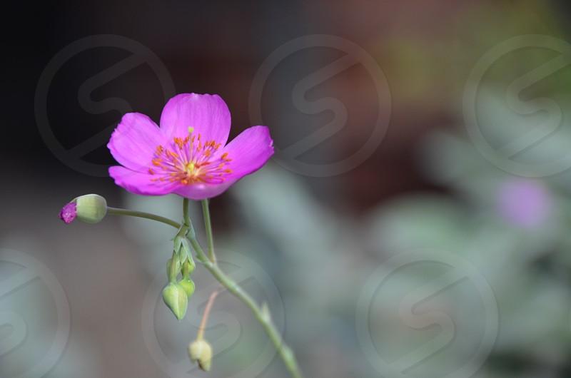 Pink Bill Teague flower photo