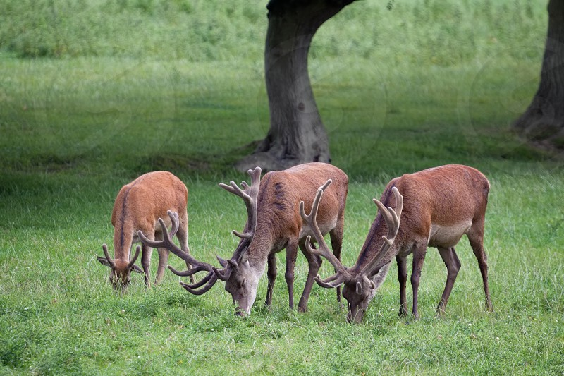 Red Deer stags grazing on grassland in Surrey photo