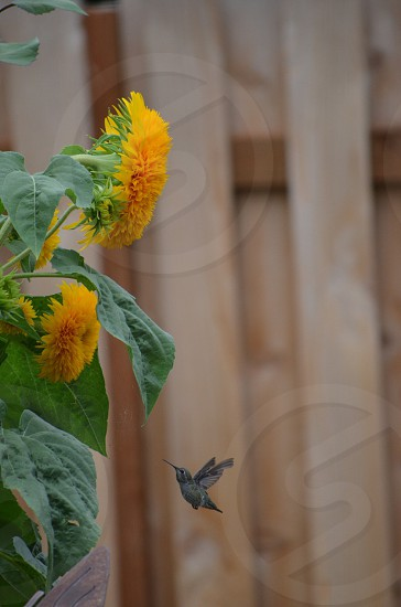 Hummingbird in flight yellow teddy bear sunflowers spring  photo