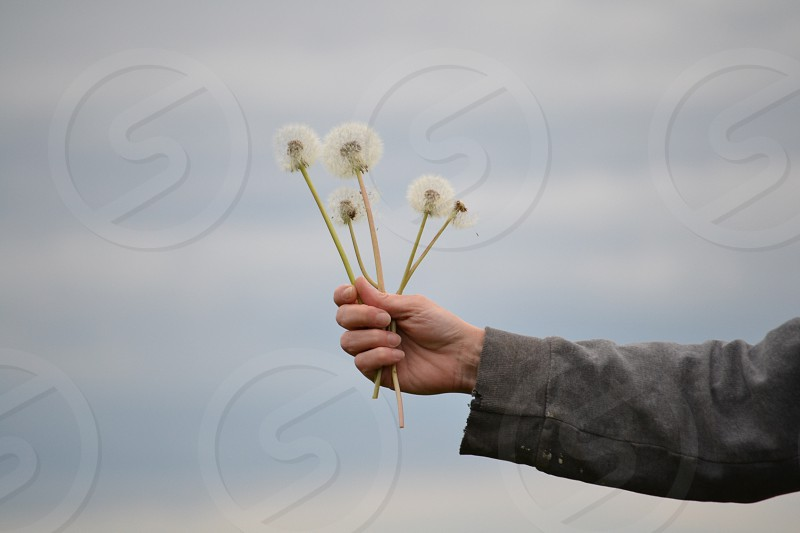human holding white dandelion flower photo