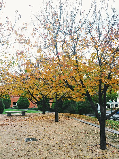 Yellow and orange autumn leaves on Manchurian pear trees outside Bendigo Art Gallery photo