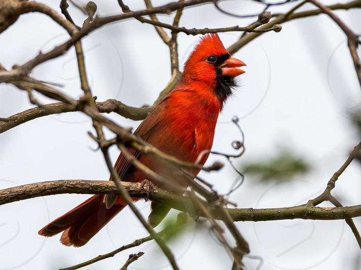Cardinal Singing in a tree photo