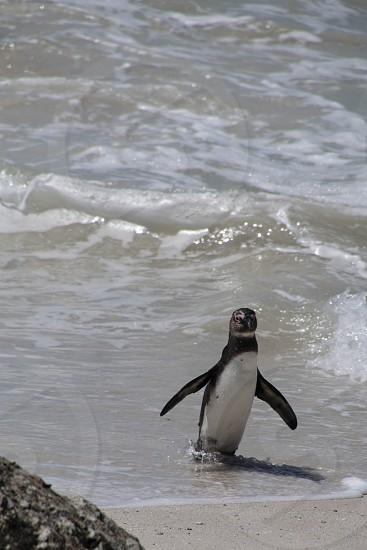 penguin water beach photo