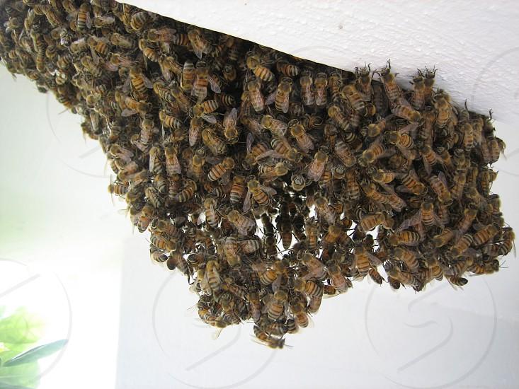 swarm of bees photo