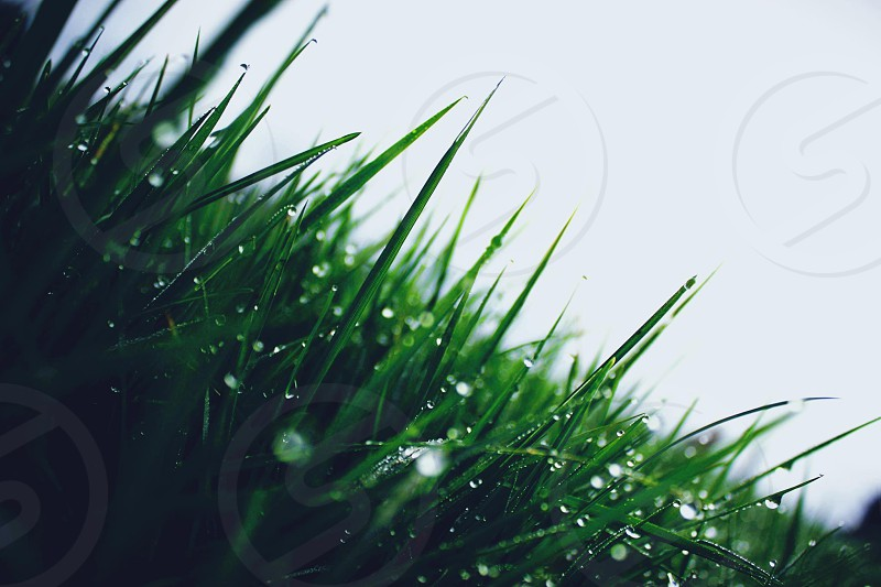 close up of green grass with dewdrops  photo
