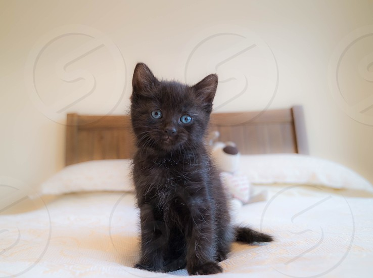 Cat Kitten Black Cat Blue Eyes Cute Fluffy Animal Pet By Steve Warwick Photo Stock Snapwire