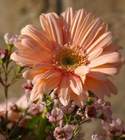 Pink gerbera daisy in natural light. photo