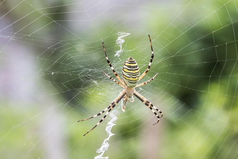 Spider in a garden. Grenn and yellow lines spider photo