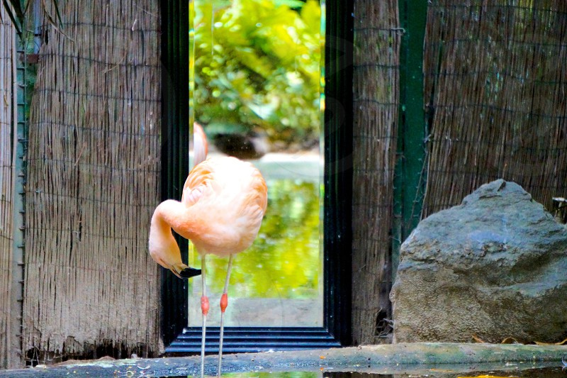 flamingo standing near rock and fence during daytime photo