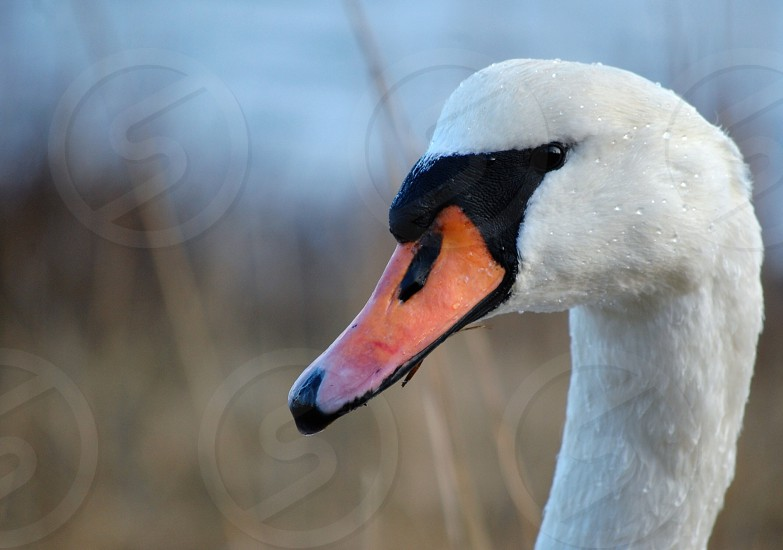 white duck with orange beak photo