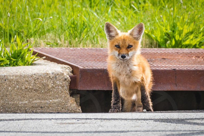 Baby fox (kit) in early spring in Ohio standing near a storm sewer. photo