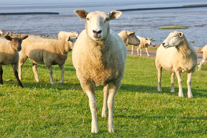 The sheep is standing on the field by the sea and is watching you. photo