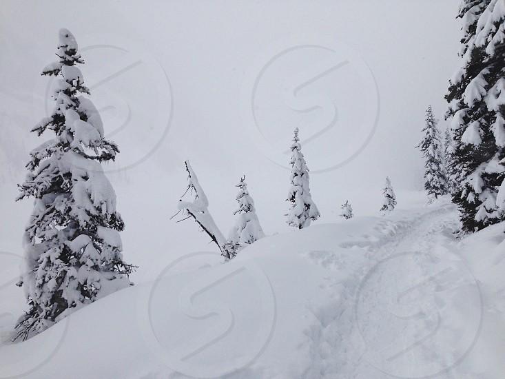 pine tree with snow photo