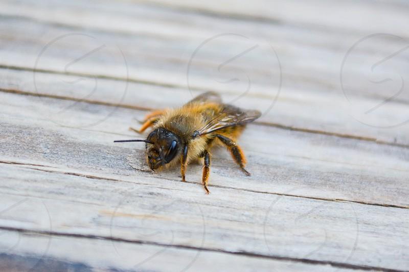 Macro Honey Bee photo