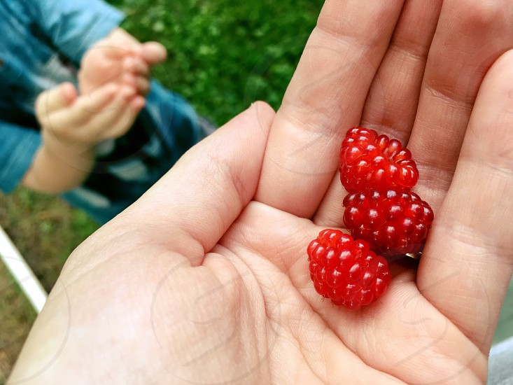 Wild juicy raspberries photo