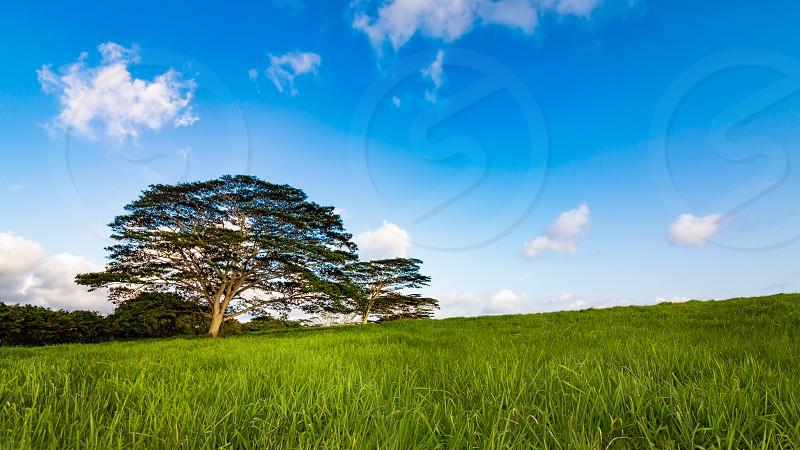 A single tree stands on a grassy hill on Kauai Hawaii. photo