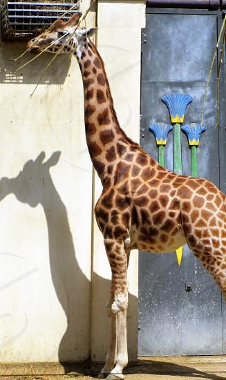 giraffe near the door photo