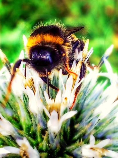 Bumblebee looking for nectarflowerheather high photo