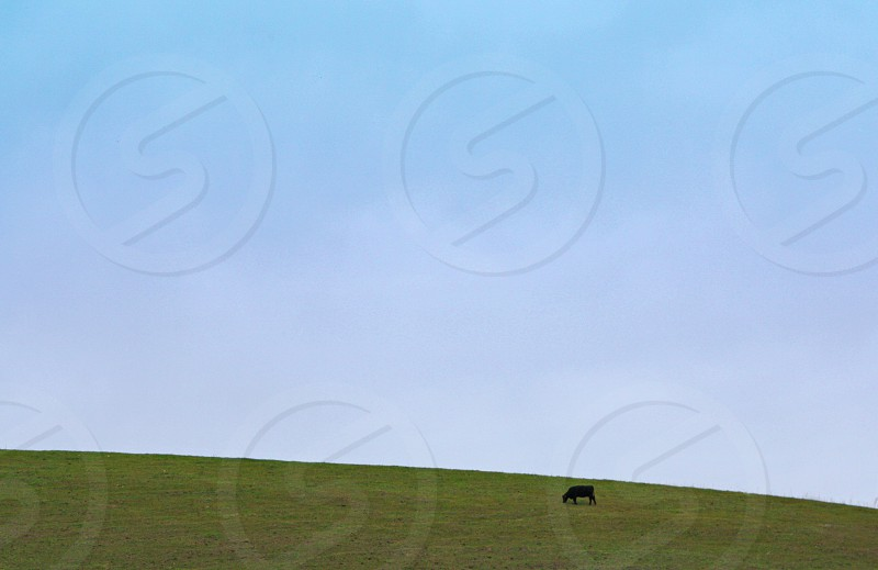 A single cow grazes on top of a green hill under a large expanse of blue sky. photo