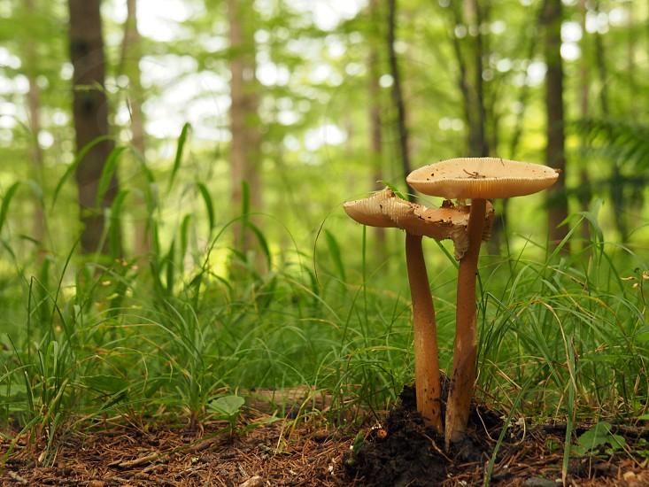 two beige mushrooms on brown soil photo