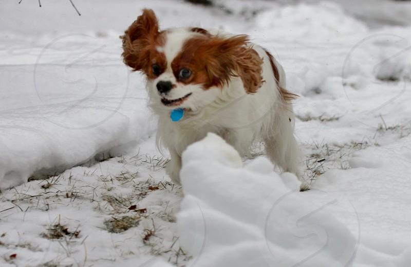 white and brown cavalier king chalres spaniel on white snow photo